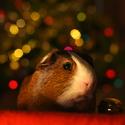Vánoční Morčátko