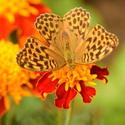 Motýl na Kozlu