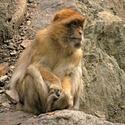 Soustředěná opice