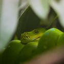 Krajta zelená (Morelia viridis)