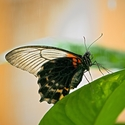 Papilio memnon-sameček