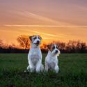 Psi v západu slunce