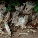 Taci staři kořeni