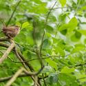 Střízlík obecný