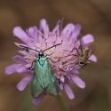 Zelenáček šťovíkový (Adscita statices)
