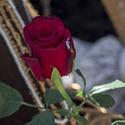 Růže po třicáté