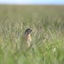V trávě (Festuca pseudovina) si tak stojí sysel (Spermophilus citellus)