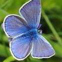 Samec modráska jehlicového