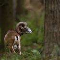 Muflon (Ovis musimon)