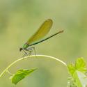 Motýlice lesklá