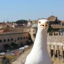 Racek v Římě