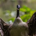 C goose