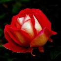 ROSE GAUMO
