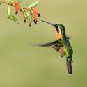 Kolibřík fialovohrdlý (Lampornis calolaema)