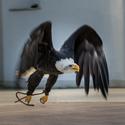 Let Orla bělohlaveho
