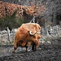 Skotský náhorní skot