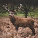 Další jelen z Richmond parku
