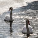 spokojený labutí páreček