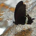 motýl z Fata Morgany