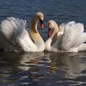 Láska labutí