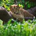 Lev konžský
