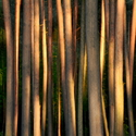Podvečer v borovém lese