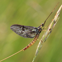 Jepice obecná (Ephemera vulgata)