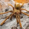Zlatá tarantule