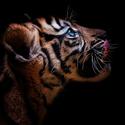 Tygr sumaterský mládě