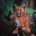 Karakal kotě