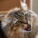Connor Sibiřská kočka