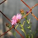 před plotem, za plotem