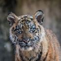 Druhá tygří slečna