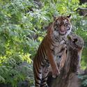 tigrov mlsný jazyk