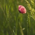 Růžová makovka