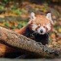 mládě Pandy Červené