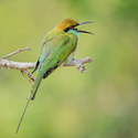 Vlha proměnlivá (Merops orientalis)