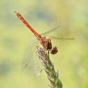Vážka obecná - (Sympetrum vulgatum) - sameček