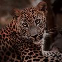 Levhart cejlonský-mládě