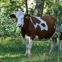 Šťastná kráva.....