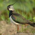 Čejka chocholatá (Vanellus vanellus)