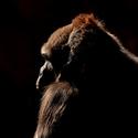 Bikira - Gorila nížinná