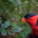 Lori tříbarvý papuánský