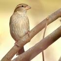 vrabec domácí (samička)
