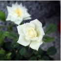 Roses... VIII. ♥ (innocence beauties)