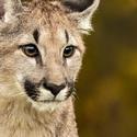 Puma americká (Puma concolor)