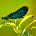 Motýlice obecná