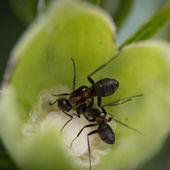 Mravenečci
