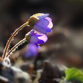 Vzpomínka na jaro  (jaterník podléška)
