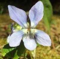 Violka lesní (Viola reichenbachiana)